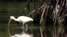 An American White Ibis (Eudocimus Albus) Forages In Shallow Water At The Edge Of A Mangroves, Shot Follows Bird