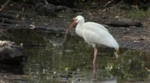 A Group Of American White Ibis (Eudocimus Albus) Forage In A Reflective Pool In Mangrove Forest, Shot Zooms Slightly, Wide And A Great Egret Struts Through Frame