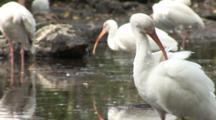 A Group Of American White Ibis (Eudocimus Albus) Preen In A Reflective Pool In Mangrove Forest