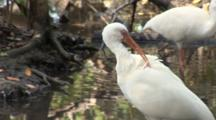 A Group Of American White Ibis (Eudocimus Albus) Preen In A Reflective Pool In Mangrove Forest, Shot Zooms In