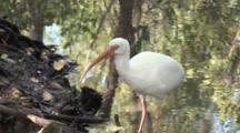 An American White Ibis (Eudocimus Albus) In A Reflective Pool In Mangrove Forest