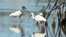 American White Ibis (Eudocimus Albus) Forage In Shallow Water Near A Mangrove Forest
