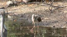 American White Ibis (Eudocimus Albus) Forage In A Pond In A Mangrove Forest, One Juvenile In Group