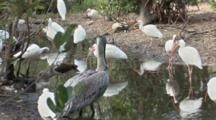 American White Ibis (Eudocimus Albus) Forage In A Pond In A Mangrove Forest, One Juvenile And One Brown Pelican In Group