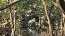 A Single American White Ibis (Eudocimus Albus)  Stands In A Pool In The Mangrove Forest, Wide Shot