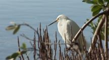 A Snowy Egret (Egretta Thula) Stands At The Edge Of Mangroves, Ocean In Background, Nice Light, Preens