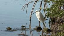 A Snowy Egret (Egretta Thula) Stands At The Edge Of Mangroves, Ocean In Background, Nice Light