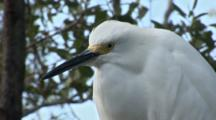 A Snowy Egret (Egretta Thula) Stands On A Tree Limb, Extreme Close Up