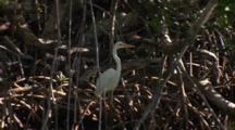 A Great Egret (Ardea Alba) Standa On Mangrove Roots Then Flies Away