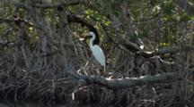 A Great Egret (Ardea Alba) Stands On Mangrove Roots, Shot Travels With Boat Movement