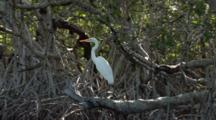 A Great Egret (Ardea Alba) Stands On Mangrove Roots, Shot Travels With Boat Movement, Bir Flies Away At End