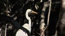 A Great Egret (Ardea Alba) Stands On Mangrove Roots, Bird Turns Away From Boat To Hide