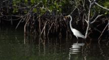 A Great Egret (Ardea Alba) Stalks Through Mangrove Roots, Wide Shot