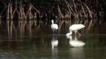 Two American White Ibis (Eudocimus Albus) Forages In Shallow Water In The Mangroves