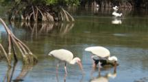 American White Ibis (Eudocimus Albus) Foraging In Shallow Water In The Mangroves