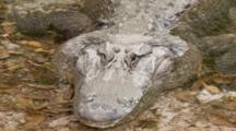 An American Alligator (Alligator Mississippiensis) Resting In A Florida Swamp