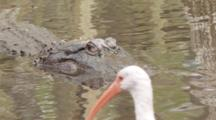 An American Alligator (Alligator Mississippiensis) And A White Ibis In A Florida Swamp