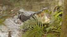 An American Alligator (Alligator Mississippiensis) Rests, Then Mouth Pops Open, In A Florida Swamp