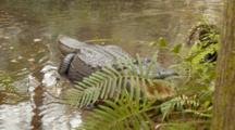 An American Alligator (Alligator Mississippiensis) Rests, Then Mouth Pops Open When Prodded, In A Florida Swamp