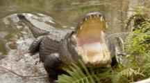 An American Alligator (Alligator Mississippiensis) Rests, Mouth Pops Open, In A Florida Swamp