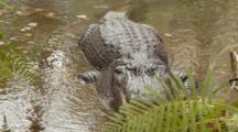 An American Alligator (Alligator Mississippiensis) Rests, Mouth Open, In A Florida Swamp