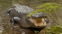 An American Alligator (Alligator Mississippiensis) Rests, Mouth Open, Lunges Forward, In A Florida Swamp