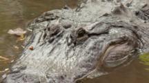 An American Alligator (Alligator Mississippiensis) Rests In A Florida Swamp