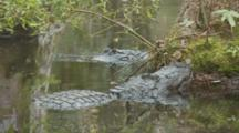 An American Alligator (Alligator Mississippiensis) Rests In A Florida Swamp, Slides Off Tree Roots