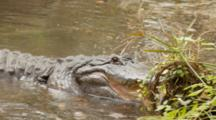 An American Alligator (Alligator Mississippiensis) Rests In A Florida Swamp, Turns And Faces Camera