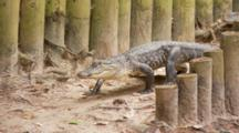 An American Alligator (Alligator Mississippiensis) Walks Down A Foot Path In The Swamp