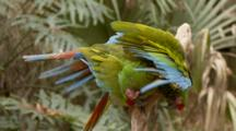 Red-Crowned Amazon, (Amazona Viridigenalis) Pair, Display & Play While Sitting On A Branch In A Florida Swamp