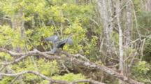 An Anhinga (Anhinga Anhinga) In A Tree, Flies Away As Camera Moves By