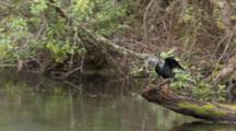 An Anhinga (Anhinga Anhinga) On A Log Is Ready To Flee As Camera Moves By