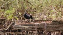 An Anhinga (Anhinga Anhinga) Rests On A Fallen Tree As Camera Moves By