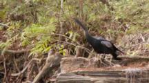 An Anhinga (Anhinga Anhinga) Rests On A Fallen Tree