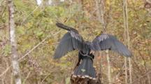 An Anhinga (Anhinga Anhinga) Rests On A Tree As Camera Moves By