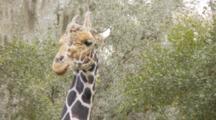 Giraffe Feeding On Leaves And Hanging Moss, Medium Shot Of Head