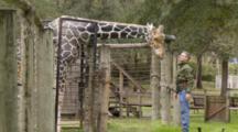 Giraffe Getting A Head Scratch From A Person