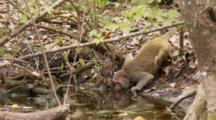 Rhesus Macaque (Macaca Mulatta) Or Rhesus Monkey Drinks Out Of River Then Exits Frame, Shot Zooms In.