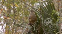 Rhesus Macaque (Macaca Mulatta) Or Rhesus Monkey Sitting In Tree And Eating
