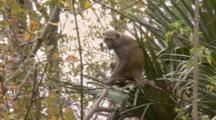Rhesus Macaque (Macaca Mulatta) Or Rhesus Monkey Sitting In Tree And Eating