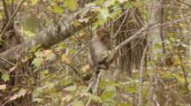 Rhesus Macaque (Macaca Mulatta) Or Rhesus Monkey Juvenile Sitting In A Tree