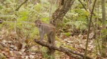 Rhesus Macaque (Macaca Mulatta) Or Rhesus Monkey Juvenile Climbs A Branch And Then Falls