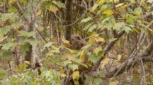 Rhesus Macaque (Macaca Mulatta) Or Rhesus Monkey Juvenile And An Adult In A Tree