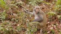 Rhesus Macaque (Macaca Mulatta) Or Rhesus Monkey Eating Fruit On The Forest Floor