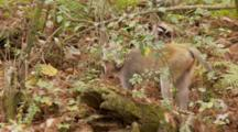 Rhesus Macaque (Macaca Mulatta) Or Rhesus Monkey On The Forest Floor, Tilt Up To A Second Monkey
