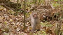 Rhesus Macaque (Macaca Mulatta) Or Rhesus Monkey On The Forest Floor, Eating Fruit