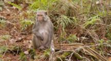 Rhesus Macaque (Macaca Mulatta) Or Rhesus Monkey On The Forest Floor, Eating Fruit, Another Monkey Comes Into View