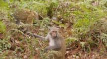Rhesus Macaque (Macaca Mulatta) Or Rhesus Monkey On The Forest Floor, Eating Fruit, Another Monkey Exits Frame