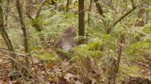 Rhesus Macaque (Macaca Mulatta) Or Rhesus Monkey On The Forest Floor, Eating Fruit And Scratching
